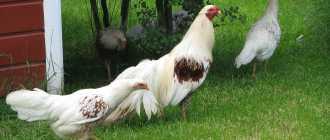 13 пород кур: яйценоские, мясные и мясояичные, какую выбрать