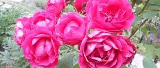 Восемь секретов выращивания роз