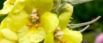 Как вырастить коровяк царский скипетр из семян, советы по уходу за растением