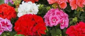 2 способа, как получить больше соцветий от герани