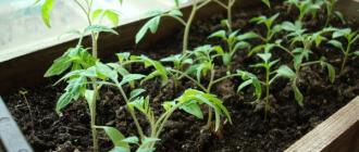 5 нельзя для рассады томатов