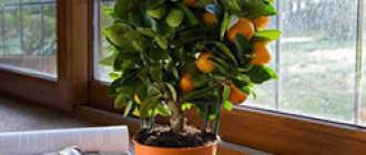 Выращивание мандарина в домашних условиях. Виды и сорта. Уход, размножение. Фото