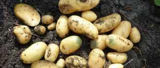 Королева Анна: характеристика, описание и выращивание картофеля