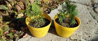 3 популярных способа выращивания туи самостоятельно
