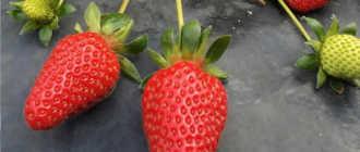 Земляника садовая 'Белруби' — описание сорта, характеристики