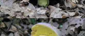 50 фото разных видов полубелого гриба,