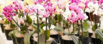 Грубые ошибки в уходе за орхидеей