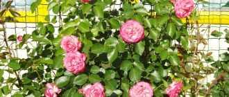 Выращивание роз в Сибири: выбираем зимостойкие сорта + правила посадки и ухода
