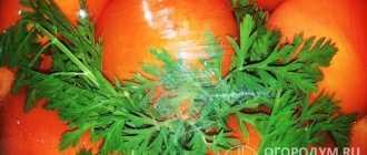 Морковные помидоры: как заготовить томаты с морковной ботвой на зиму без стерилизации