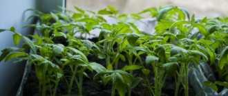 Выращивание рассады помидоров – подготовка семян, подкормки, уход