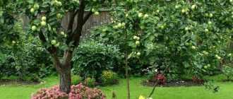 Как сажать чеснок под яблонями