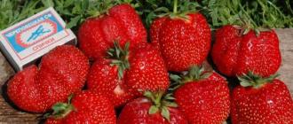 Земляника Гигантелла: выращивание, описание сорта, фото и отзывы
