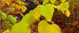 Важные правила подготовки малины к зиме. Обрезка, подкормка, борьба с болезнями и вредителями. Фото